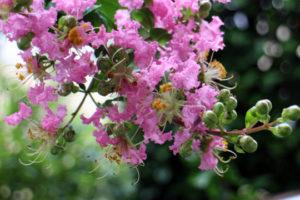 むさし矯正丸店舗 サルスベリの花
